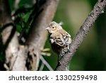 common chaffinch juvenile... | Shutterstock . vector #1330259498