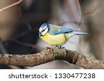blue tit sitting on branch of... | Shutterstock . vector #1330477238