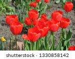 tulips flower bed in springtime.... | Shutterstock . vector #1330858142