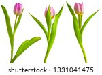 pink tulips isolated on a white ... | Shutterstock . vector #1331041475