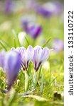 Spring Field With Crocus Flowers