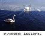 swans swimming in the water...   Shutterstock . vector #1331180462