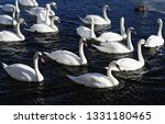 swans swimming in the water...   Shutterstock . vector #1331180465