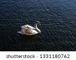 a swan swimming in the water...   Shutterstock . vector #1331180762