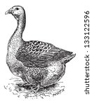 antigua,creo que,antiguo,arte,ilustración,aves,ave,negro,raza,cocina,delicadeza,domesticado,dibujo,pato,comestibles