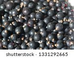 black currant  blackcurrant ... | Shutterstock . vector #1331292665