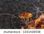 Cat Flea  Ctenocephalides Feli...