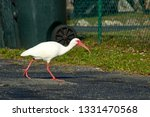 A Great White Ibis Bird With...