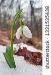 snowdrop or common snowdrop ... | Shutterstock . vector #1331535638