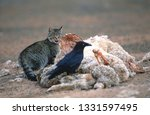 Feral Wild Cat Feeding On A...