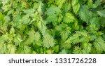 urtica dioica  common or... | Shutterstock . vector #1331726228