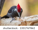 Pileated Woodpecker In Maine