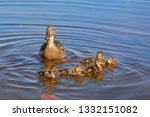 wild duck with a brood of... | Shutterstock . vector #1332151082