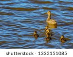 wild duck with a brood of... | Shutterstock . vector #1332151085