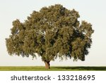Majestic Cork Tree Alone In The ...