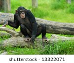 Close Up Of A Cute Chimpanzee ...
