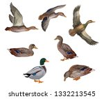 Set Of Mallard Ducks In...