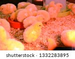 little chickens in the box. ... | Shutterstock . vector #1332283895