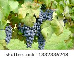 cabernet franc grapes on the... | Shutterstock . vector #1332336248