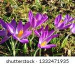 lilac or purple crocuses ...   Shutterstock . vector #1332471935