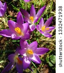 lilac or purple crocuses ...   Shutterstock . vector #1332471938