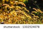the golden grass flowers are... | Shutterstock . vector #1332524078