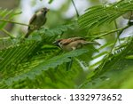 eurasian tree sparrow is on the ... | Shutterstock . vector #1332973652