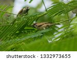 eurasian tree sparrow is on the ... | Shutterstock . vector #1332973655
