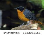 a colorful songbird in the zoo | Shutterstock . vector #1333082168