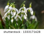 early flowering snowdrops ... | Shutterstock . vector #1333171628