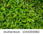 natural green leaves wall... | Shutterstock . vector #1333303082