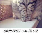 Stock photo close up of gray british cat paws sitting on the table 133342622