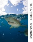 Small photo of Lemon Shark (Negaprion brevirostris) Close-up, Split Shot at Surface. Tiger Beach, Bahamas