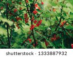 red currant bush in the garden | Shutterstock . vector #1333887932