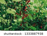 red currant bush in the garden | Shutterstock . vector #1333887938
