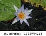 Water Lily An Aquatic Plant Of...
