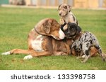 Stock photo louisiana catahoula bitch with puppies on the grass 133398758