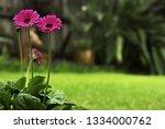 gerbera pink flowers in the... | Shutterstock . vector #1334000762