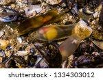 Shark Eggs In Mermaid Purses...