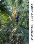 coconut farmers in thailand are ... | Shutterstock . vector #1334428055