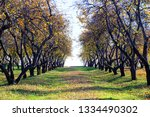 Rows Of Old Apple Trees With...