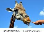 giraffe  giraffa camelopardalis ... | Shutterstock . vector #1334499128