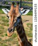 giraffe  giraffa camelopardalis ... | Shutterstock . vector #1334499155