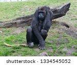 ape is posing | Shutterstock . vector #1334545052