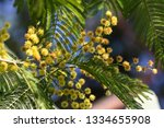 Mimosa In Bloom  Symbol Of The...