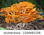 Jack O Lantern Mushroom Cluster