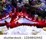 Red Knobbed Starfish In Aquarium