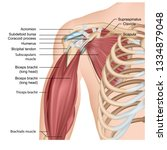 muscles of shoulder and arm 3d... | Shutterstock .eps vector #1334879048