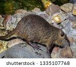Nutria Or Marsh Beaver ...