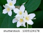 philadelphus they are named... | Shutterstock . vector #1335124178